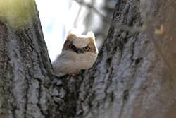「貓頭鷹家族」罕見棲息路邊樹洞 隔天驚見30人「大砲」攻擊