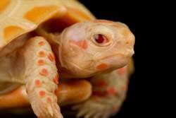 印度漁民驚見「黃金鱉」!專家一看不單純