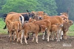 牛結節疹今無新增案例 疫苗注射率超過8成