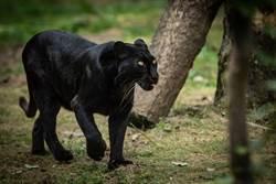 黑豹驚現公園嚇壞居民 警察小心靠近結果糗了
