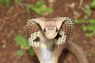 驚見超巨眼鏡蛇靠近餐盤 罕見張嘴大口吞白飯