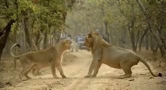 影》「別讓我在人類前難堪」印度國家公園 獅子情侶吵架