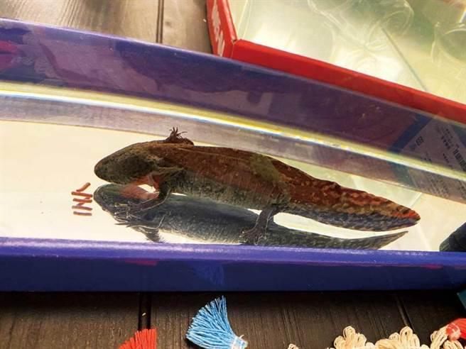 除了毛小孩,戴安娜還養了頻臨絕種的墨西哥鈍口螈。(圖/戴安娜提供)