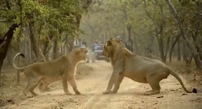 印度吉爾國家公園,一對獅子在吵架。(圖/twitter)