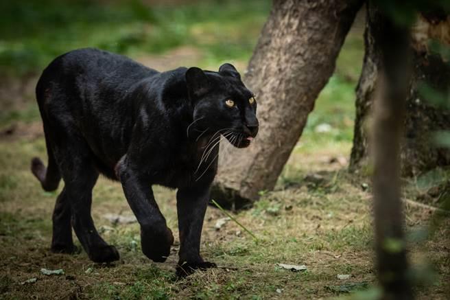 黑豹驚現公園嚇壞居民 警察小心靠近結果糗了(示意圖/達志影像)