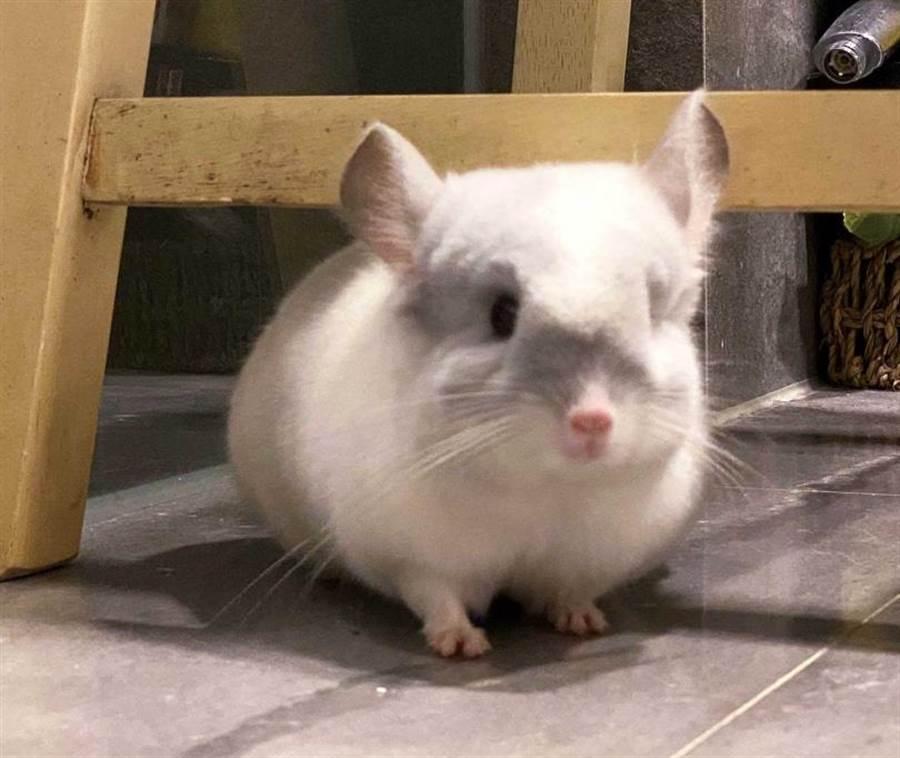 号称「真实版龙猫」的绒毛丝鼠,在戴安娜家中有恆溼恆温的专属房间。(图/戴安娜提供)