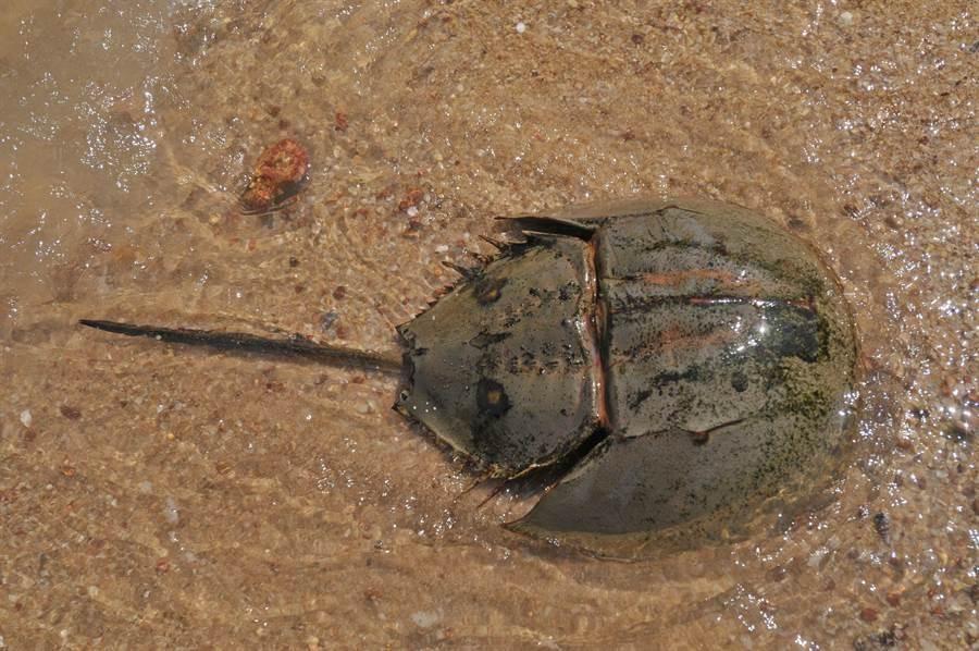 建功嶼的潮間帶有史前「活化石」鱟的分布。(李金生攝)