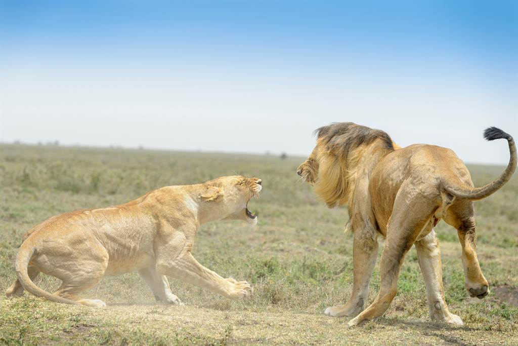 「1天40次」公獅不行了 母獅氣到狠咬牠蛋蛋?專家還原真相(示意圖/達志影像)