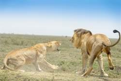 「1天40次」公獅不行了 母獅氣到狠咬牠蛋蛋?專家還原真相
