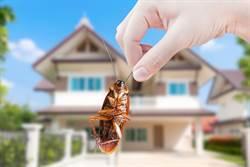 會飛的蟑螂最可怕! 小強起飛是因這「3原因」