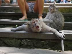 猴子拿石頭瘋狂旋轉畫圈 網驚:猴界愛因斯坦