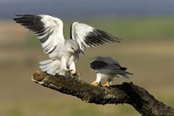 猛禽界的迷因王!黑翅鳶育兒實錄 網笑:崩潰不分物種