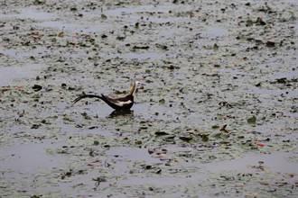 農地種電改變生態地景 水雉家園受威脅