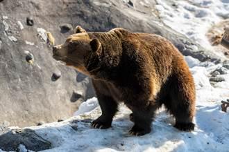 可愛棕熊成動物園人氣王 悲傷遭遇曝光網鼻酸