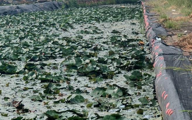 福壽螺肆虐恐影響菱角收成,台南市官田區農民嚐試多種方法防治,但都未能根除螺害,就連施用化學藥劑,也只能做到控制的效果。(莊曜聰攝)