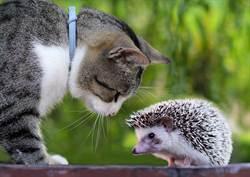 小奶貓初次見刺蝟 嚇到抱桌腳求救反應超萌