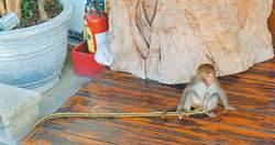 獵捕獼猴當寵物 可開罰6至30萬元