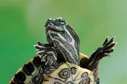 3隻烏龜超完美堆疊成塔 絕佳平衡畫面不尋常