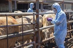 金門施打牛結節疹疫苗  連5天已逾8成5142頭