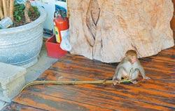 獵捕獼猴當小孩養 最高罰30萬