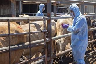 防檢局:台灣本島現牛結節疹確診 疫情獲控制