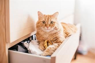 橘貓鑽抽屜「2條白嫩美腿」猛掙扎 疑惑背影主人笑翻