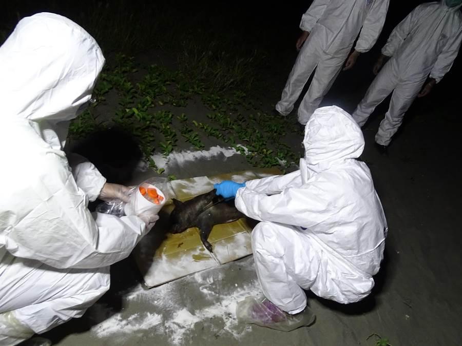 台南四草大橋下發現不明豬屍,動保處以標準流程採樣處理。(南市動保處提供/莊曜聰台南傳真)
