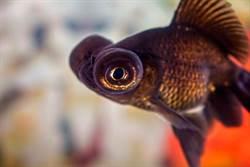 黑金魚奄奄一息沒人想養 她不忍買回家養1年驚人變色