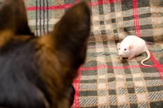 老鼠鑽進牧羊犬嘴裡險被吃?主人拍下超萌互動