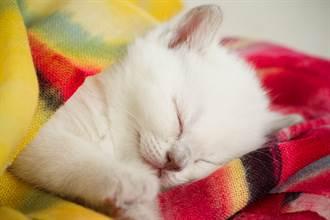 雪白小奶貓長大變身「驚喜色」 飼主:貍貓換太子?