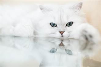 香雞腿上桌 白貓偷伸萌萌肉掌狂撈「給我肉肉!」