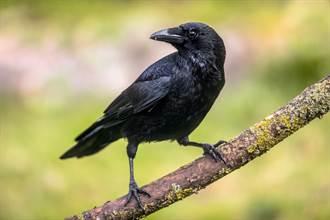 「烏」為何比「鳥」少一劃?日本老師曝逗趣原因