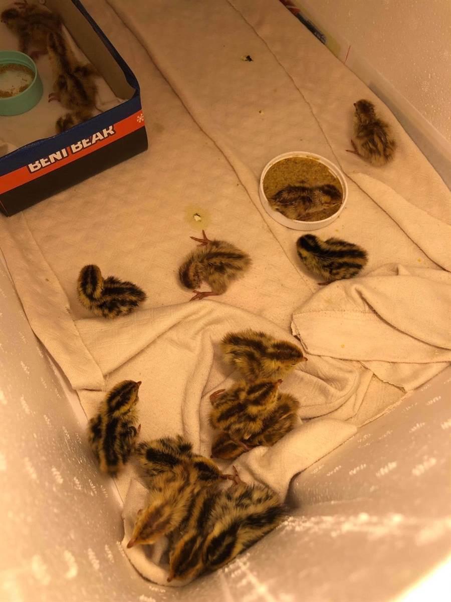 從蛋盒自行孵化的小鵪鶉已經全部被認養完畢。(程姓網友提供)