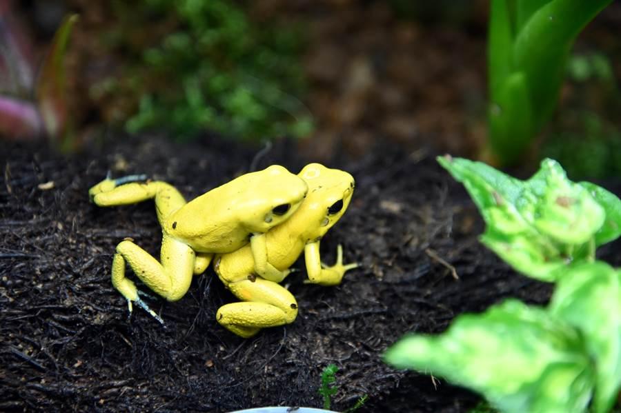 清華大學蛙房第1批箭毒蛙已成功交配產卵。(清大提供/陳育賢新竹傳真)