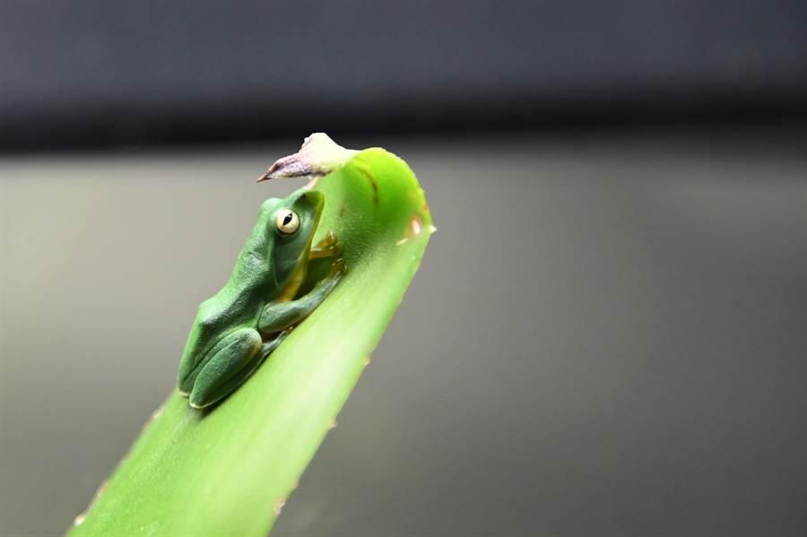 清華大學設立蛙房,培育台灣原生種莫氏樹蛙。(清大提供/陳育賢新竹傳真)