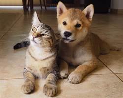 同伴全是柴犬!貓誤會自己是狗 吃飯舉動太神奇
