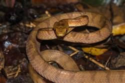 大頭蛇偷襲五色鳥巢 竟「活活生吞」未睜眼鳥寶 場面驚悚