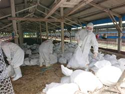 台南市下營區傳禽流感 撲殺5萬7872隻皇金雞