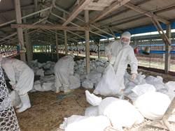 下營養雞場爆禽流感  撲殺5萬7872隻皇金雞