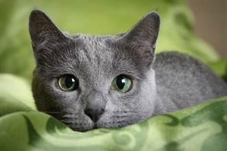 志工誘捕路上懷孕藍貓 醫生一照超音波全場鼻酸