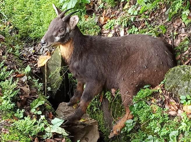 民宿業者王三華路過瑞里2號橋時發現一隻受傷的長鬃山羊倒臥路邊水溝。(王三華提供/張亦惠嘉縣傳真)