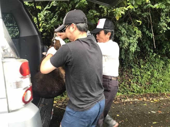嘉義林管處人員到場後,小心翼翼將受傷的山羊搬運上車。(翻攝照片/張亦惠嘉縣傳真)