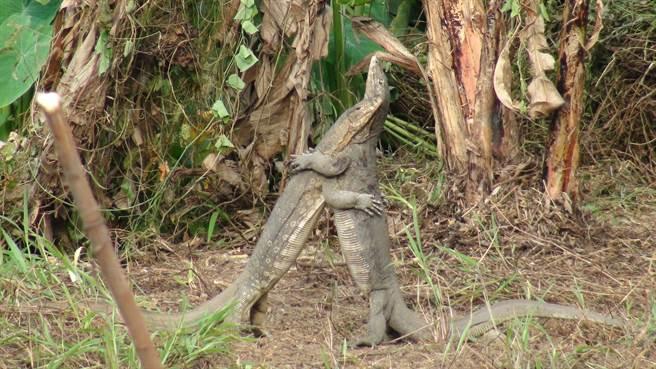 大街上看到巨蜥蜴抱在一起,讓路過的駕駛非常驚訝(示意圖/達志影像)