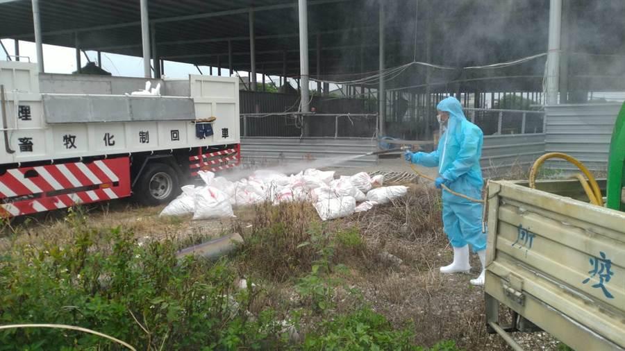 26日接獲芳苑一肉鵝場,有雞隻異常死亡情形,隨即派員進行移動管制,並將病雞送檢,今確診為感染H5N5亞型高病原性禽流感病毒。(彰化縣政府提供/吳建輝彰化傳真)
