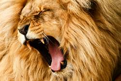 領養幼犬以為是小型狗 失控長成「獅子」主人崩潰