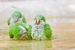 洗手台變身豪華鳥窩 綠和尚施工7天全紀錄