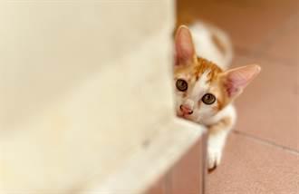 小奶貓躲牆角嚇主人 超萌跳躍網驚呼:太可怕了