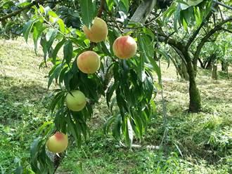 讓梨山水蜜桃下山換現金 中橫便道夏季增開傍晚時段