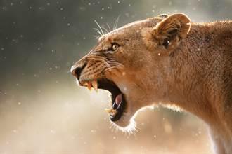 母獅霸氣咆哮強勢進攻 公獅嚇傻秒變小孬孬
