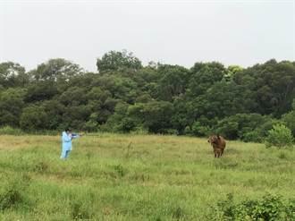 嘉縣家畜所自製3種祕密武器 助金門打牛結疹疫苗